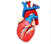Colorful  and dissectible model of Human Heart