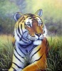 Tiger Oil Paintings