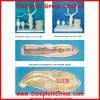 earthworm anatomical models (DWM0027)