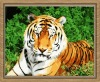 tiger DIY oil painting by number for wholesale (40*50cm)
